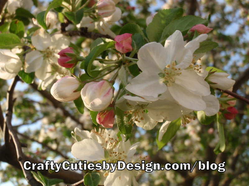 Oklahoma Crab Apple Tree Blooms