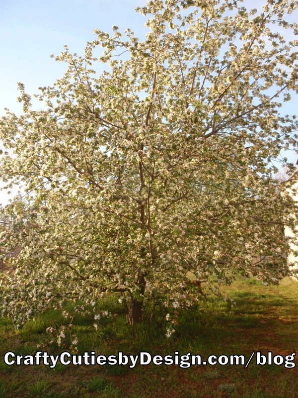 Oklahoma Flowering Crab Apple Tree