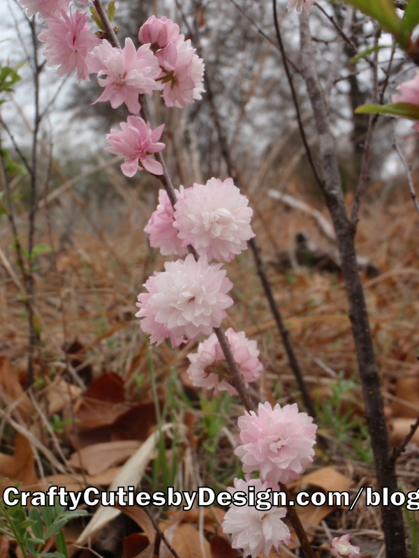 Pink Flowering Almond Bush Blooms
