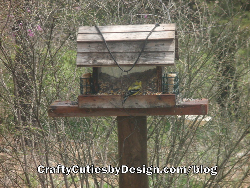 Male Goldfinch eating on the feeder